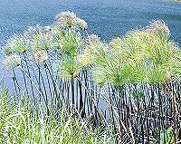 The Cyperus plant from which papyrus is made